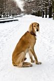 Saluki (Persian Greyhound, Royal Dog of Egypt) at the winter walk Stock Photo
