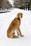 Saluki (persisk vinthund, kunglig hund av Egypten) på vintern går arkivfoto