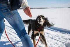 Saluki, Perska charcica bawić się z właścicielem w zima parku fotografia stock