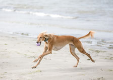 Saluki is playing on a beach. Saluki (persian greyhound) is playing on a beach stock photography