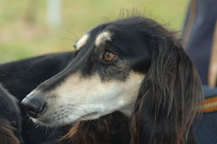 Saluki portrait Stock Images