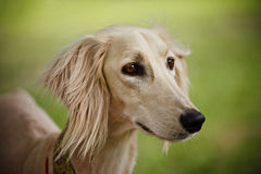 Saluki Portrait. (head only) on blurred background Stock Photos