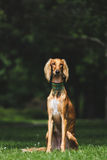 Saluki portrait. Portrait of a saluki in a park royalty free stock images