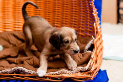 Saluki pup Stock Images
