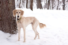 Free Saluki Pup In Snow Royalty Free Stock Images - 21832119