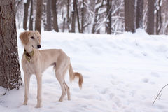 Saluki pup in snow Stock Photos