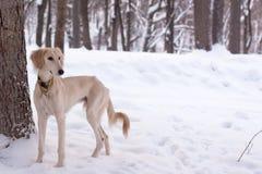 Saluki pup in snow Stock Photos