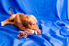 Saluki pup and toy Stock Photo
