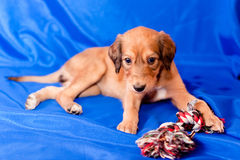 Saluki pup and toy Stock Images