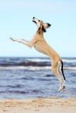 Saluki puppy jumping Stock Photo