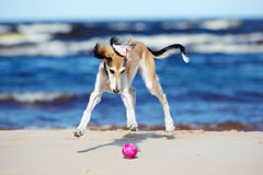 Saluki puppy playing with a ball Stock Photos