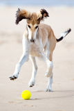 Saluki puppy playing with a ball Royalty Free Stock Photos