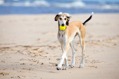 Saluki puppy playing with a ball Royalty Free Stock Photo