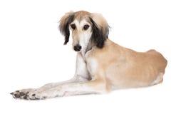 Saluki puppy posing on white Royalty Free Stock Photo