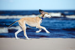 Saluki puppy running on a beach Stock Images