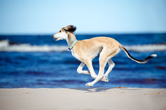 Saluki puppy running on a beach Royalty Free Stock Photos