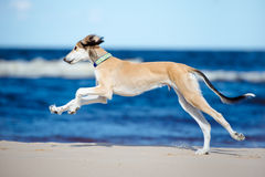 Saluki puppy running on a beach stock image
