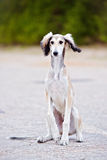 Saluki puppy sitting outdoors Royalty Free Stock Photos