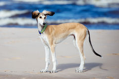 Saluki puppy standing on a beach Royalty Free Stock Image