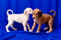 Saluki pups stock photo