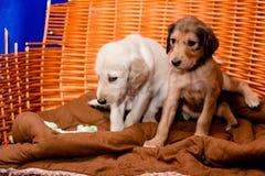 Saluki pups Stock Image