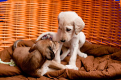 Saluki pups Stock Photos