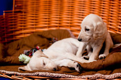 Saluki pups Royalty Free Stock Images