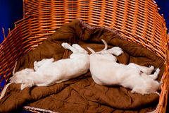 Saluki pups Royalty Free Stock Image