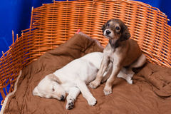 Saluki pups Stock Images