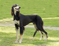 Saluki. A side view of a healthy beautiful grizzle, black and tan, Saluki standing on the lawn looking happy and cheerful. Persian Greyhound dogs are slim and stock photography