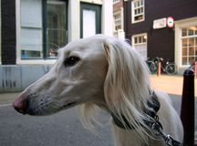 saluki-slughi greyhound Stock Image