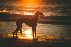 Saluki on sunset. Saluki (persian greyhound) staying in last rays of sun on a beach. Baltic Sea royalty free stock photo