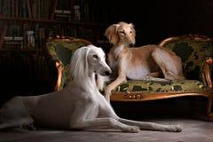 Salukihund för två vinthund i kunglig inre fotografering för bildbyråer