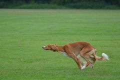 Saluki male puppy running in the field. Salukis are the fastest dogs on earth and their endurance is unbeatable Royalty Free Stock Image