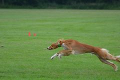 Saluki male puppy running in the field. Salukis are the fastest dogs on earth and their endurance is unbeatable Stock Photos