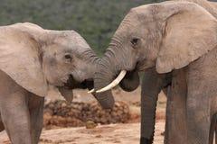 Salutation d'éléphant africain Image stock