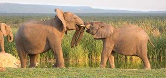 Salutation d'éléphant africain Images stock
