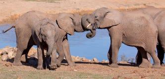 Salutation d'éléphant africain Photos libres de droits