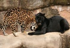 Salutation entre les jaguars Photographie stock libre de droits