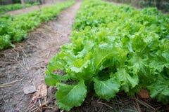 Salute di verdure degli alimenti di verde dell'insalata della lattuga Fotografie Stock Libere da Diritti