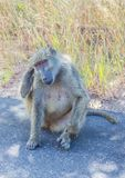 Saluting Chacma Baboon at the Kruger National Park stock photography