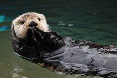 Saluto della lontra Fotografia Stock Libera da Diritti