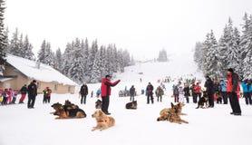 Salvadores do serviço de salvamento da montanha com cães do salvamento Fotografia de Stock Royalty Free