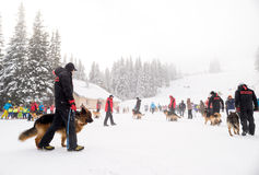 Salvadores do serviço de salvamento da montanha com cães do salvamento Foto de Stock
