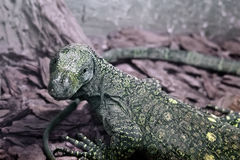 Salvadori's monitor (Varanus Salvadorii). The large monitor lizard living in New Guinea Stock Photo