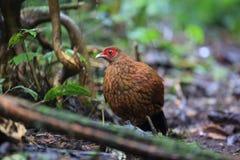 Salvadori`s pheasant Stock Photography