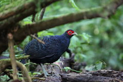 Salvadori`s pheasant Stock Photos