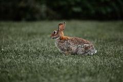 Salvaje al aire libre de pascua del conejito peludo lindo del conejo foto de archivo