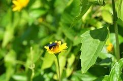 Salvaje avispa-como la abeja que recoge el néctar y el polen de un wildflower amarillo en Tailandia Fotografía de archivo