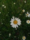 Salvaje blanco de la flor Imagen de archivo
